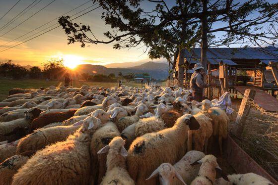 Image may contain: Herd, Sheep, Sheep, Herding, Sky.