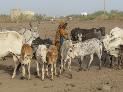 Afar-woman with her animals