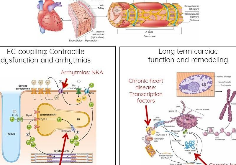 Schematic figure depicting main strategies for treating cardiac illnesses