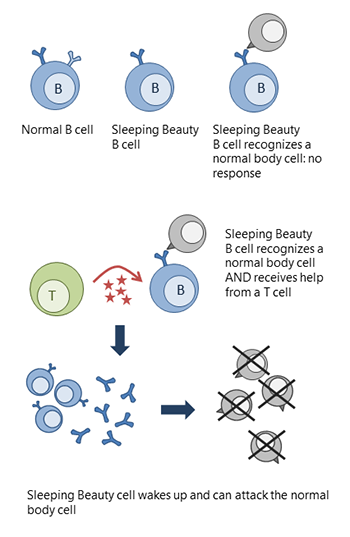 Drawing of a normal B cell, a Sleeping Beauty B cell that is not activated and a Sleeping Beauty B cell getting T cell help and being activated