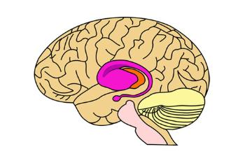 Illustration of the putamen within the brain.