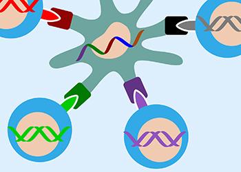 Fargerik illustrasjon. I midten ser vi en syntetisk DNA-streng med kreftmutasjoner som er plassert inn i en immunstimulerende celle fra en frisk person. Kulene med ulike farger viser immunceller som gjenkjenner mutasjonene og kobler seg på cellen for å bekjempe dem