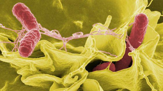 Foto av Salmonellabakterier.
