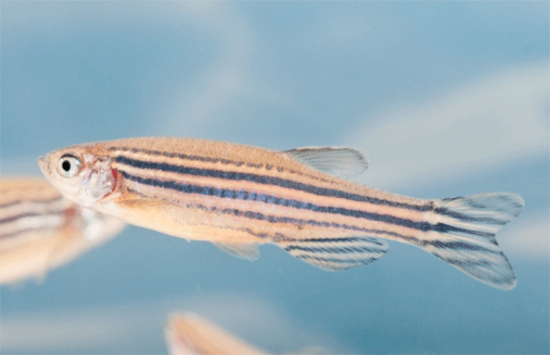 Photo of a zebrafish