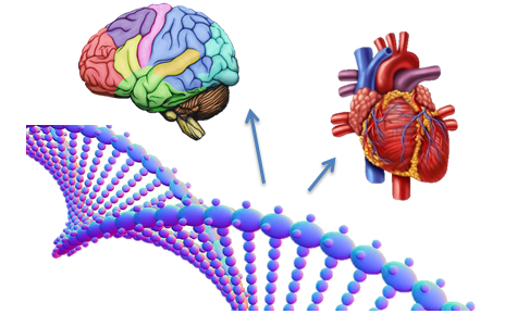 Illustration: DNA molecule, heart, brain