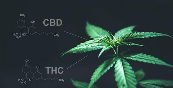 foto av cannabisplante. Kjemisk struktur på virkestoffene CBD og THC i bakgrunnen.